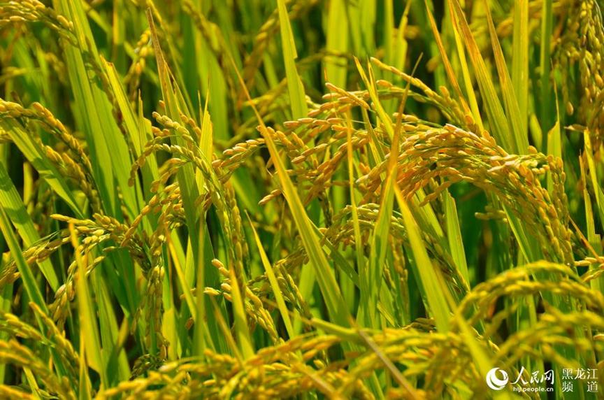 黑龙江水稻直播滴灌试验取得阶段性成果